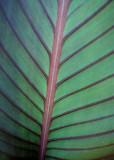 Purple/Green Leaf