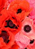 7 Market Poppies