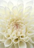 1 White Dahlia