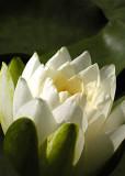 3 White Lotus Petals