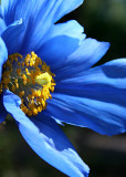 5 Blue Tibetan Poppy