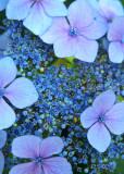 11 Blue Lace Hydrangea