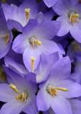 12 Steeple Flower