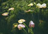 Lily Leaves at Snake Lake