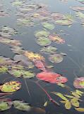 Fall Leaves at Wild Lily Lake