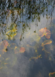 Reflections and Emerging Lily Leaves