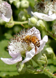 Bee on Blackberry