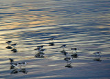Sunset Sanderlings