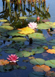 Late Summer Lilypond