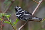 Black-and White Warbler