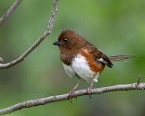 Eastern Towhee Female