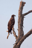 Young Eagle