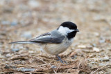 And a chickadee