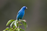 Indigo Bunting in AA Arboretum May 15