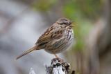 Savannah Sparrow (?)