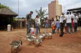 Dando comida para os Gansos