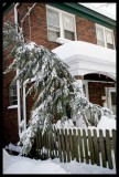 0079.Our skinny hemlock, we kept shaking snow off it all night, to keep it from breaking.