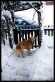 0131.Bo, wanting out to join in the fun...he LOVES the snow...