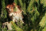 Napping Eastern Red Screech Owl