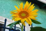 little sunflower.jpg