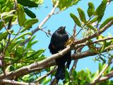 red-winged blackbird.jpg