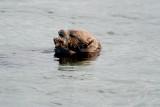 california sea otter.jpg