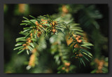Yew tree -Taxus baccata - If