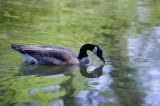 Canadian Goose - Bernache du Canada