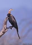 Anhinga d'Afrique - Anhinga rufa - African Darter