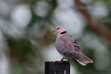 African Mourning Dove - Tourterelle pleureuse