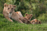 Lioness with two of her babies