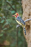 Barbican - Red and Yellow Barbet