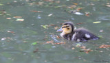 Caneton -Duckling