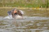 Greylag Goose - Oie cendrée