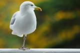 Goéland -Seagull