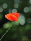 Coquelicot - Poppy