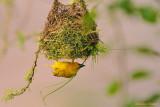 Tisserin du Cap -Ploceus capensis - Cape Weaver