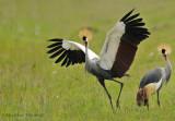 Grues couronnées - Crowned Cranes
