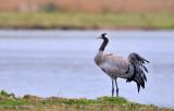 Common Crane -  Grue cendrée adulte en plumage d' été