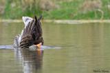 Greylag Goose diving - Plongeon de l'oie cendrée