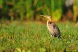 Heron from Baringo Lake