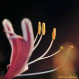Chevrefeuille - Lonicera implexa