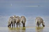 Zebras in a row