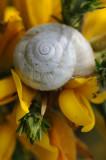 Escargot  sur fleur d'ajonc