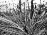 Ice Crystals on Pine Needles.jpg