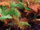 Fall Ferns.jpg