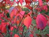 Dogwood Red.jpg