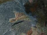 Slender Filefish (sideon)