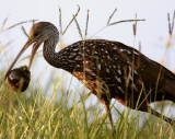 Limpkin with Snail.jpg