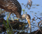 Limpkin Looking for Food.jpg